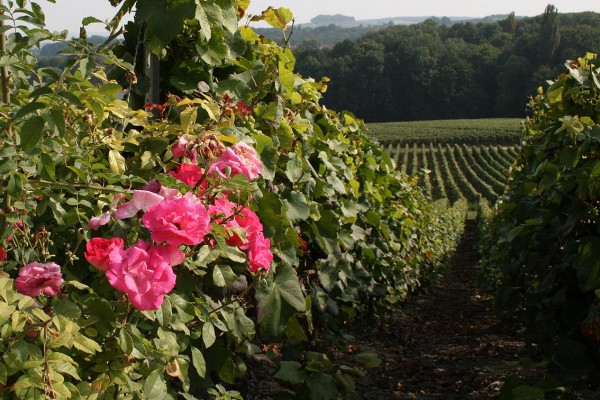 Arlaux - vineyard - 2
